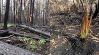 Foto Tumbuhan Hidup di Hutan Sisa Kebakaran Australia (sumber: worldofbuzz)