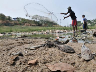 Sejumlah ikan mati ditemukan di aliran Kali Bekasi yang menyurut di kawasan Margahayu, Bekasi, Jawa Barat, Selasa (8/10/2019). Musim kemarau berkepanjangan menyebabkan debit air Kali Bekasi menurun dan hampir mengering di beberapa titik. (merdeka.com/Iqbal Nugroho)