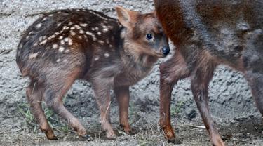 Seekor bayi rusa, Haechan berkeliaran di dalam kandangnya di Kebun Binatang Los Angeles Kamis (24/1). Penggemar  boyband Korea, NCT bekerja sama bonbin ini untuk memberi nama bayi pudu, salah satu jenis rusa langka dengan nama Haechan. (AP/Richard Vogel)