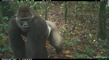 Gorila Cross River (WCS Nigeria)