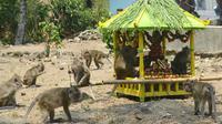 Rewanda Bojana, tradisi memberi makan ratusan ekor monyet di kompleks Mesjid Saka Tunggal, Cikakak, Wangon, Banyumas. (Foto: Liputan6.com/Muhamad Ridlo)