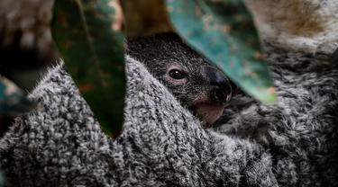 Bayi koala berusia tujuh bulan saat difoto di Kebun Binatang Lisbon, Lisbon, Portugal, 13 Februari 2020. Koala adalah sejenis hewan berkantung berasal dari Australia, memiliki waktu tidur sekitar 18 hingga 20 jam sehari. (PATRICIA DE MELO MOREIRA / AFP)
