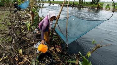 Warga memindahkan ikan betik yang terperangkap dalam perangkap ikan tradisional atau anco ke dalam ember di Kali Doser, Desa Wates, Bekasi, Jawa Barat, Selasa (21/1/2020). Selain untuk makan, ikan betik yang didapat warga juga digunakan untuk membuat terasi. (merdeka.com/Imam Buhori)