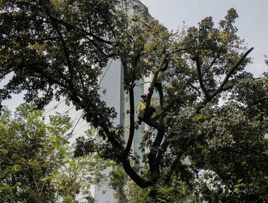 Memasuki Musim Penghujan, Pohon di Jakarta Dipangkas