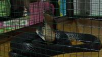 Sebelumnya, pasangan ibu dan anak dari Boalemo itu bergantian bermimpi bertemu ular kobra. (Liputan6.com/Andri Arnold)