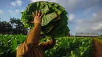 Seorang petani membawa daun tembakau di perkebunan tembakau di San Juan y Martinez, Provinsi Pinar del Rio, Kuba (24/2). Para peserta akan dibawa ke perkebunan tembakau terbaik di Pinar del Rio dan ke pabrik cerutu bersejarah. (AFP Photo/Yamil Lage)
