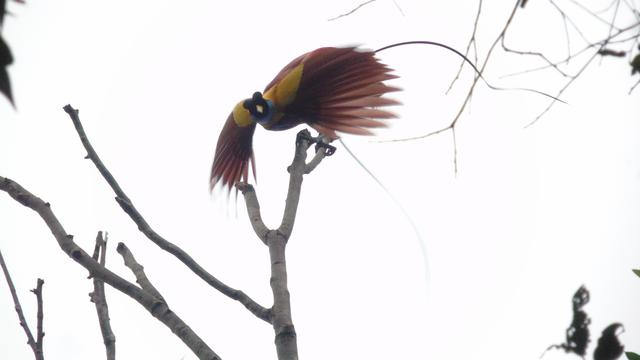 Tarian Burung-Burung Cenderawasih di Jalanan Raja Ampat