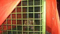 Walhi mencatat sedikitnya ada 57 ekor hewan Karnivora ini sedang turun gunung dan mengancam warga, tampak salah seekor Harimau Sumatra yang diamankan BKSDA Bengkulu.  (Liputan6.com/Yuliardi Hardjo Putra)