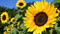 Ilustrasi bunga matahari (dok. Pixabay.com/Putu Elmira)