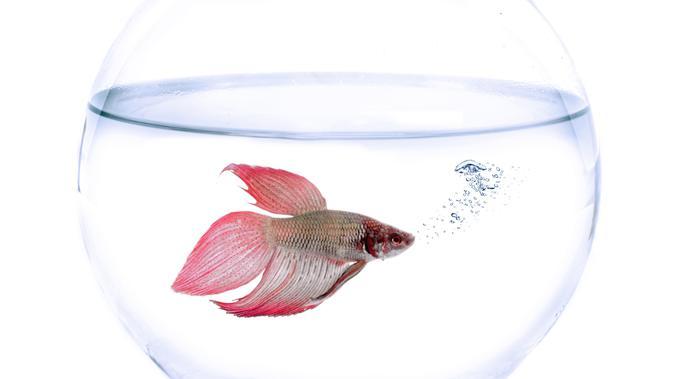Cara Membuat Makanan Ikan Cupang Di Rumah Jadi Alternatif Hemat Hot Liputan6 Com