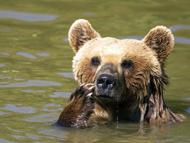 Beruang cokelat Hana mendinginkan diri di kolam air di Bear Sanctuary Pristina, dekat ibu kota Pristina, Kosovo, Kamis (8/7/2021). Warga di Eropa timur yang tidak terbiasa dengan suhu tinggi sedang berjuang untuk mengatasi gelombang panas yang melanda seluruh wilayah. (AP Photo/Visar Kryeziu)