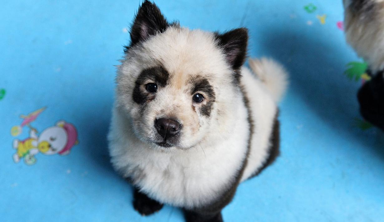 Foto Kafe Ini Mengecat Anjing Mirip Panda Global Liputan6 Com