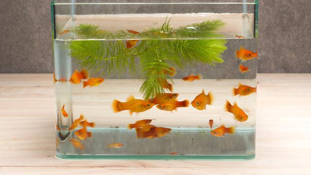 Macam Macam Ikan Hias Air Tawar Yang Populer Cocok