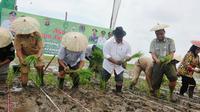 Proses penanaman perdana padi di Danau Semayang Kutai Kartanegara (Kukar) Kalimantan TImur (Kaltim). (Liputan6.com/Abelda Gunawan)