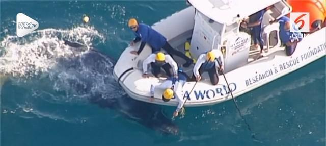 Tim penyelamat berhasil membebaskan seekor anak ikan paus yang tertangkap jaring ikan hiu dan telah mengembalikan anak ikan paus ke Pantai Gold Coast, Australia.