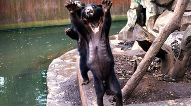 Beruang kurus