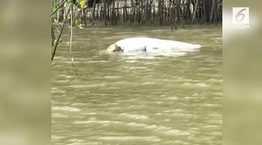 Adegan kanibalisme antarbuaya terekam oleh seorang pemandu wisata mancing di Sungai Mary, Australia.