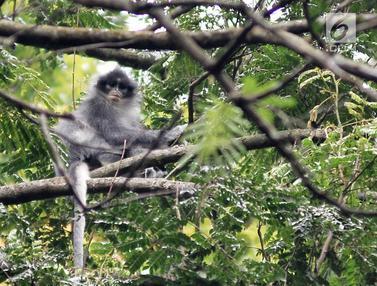 Populasi Monyet Surili di Taman Nasional Gunung Halimun Salak