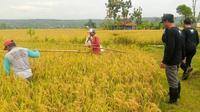 Petani di Tuban menolak impor beras. (Ahmad Adirin/Liputan6.com)