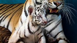 Anak harimau putih, Yanek bermain dengan induknya di Kebun Binatang Nasional Kuba di Havana pada 4 Juni 2021. Untuk pertama kalinya dalam 20 tahun, empat anak harimau lahir di kebun binatang dan di antaranya, seekor harimau putih betina yang langka bernama Yanek. (YAMIL LAGE/AFP)