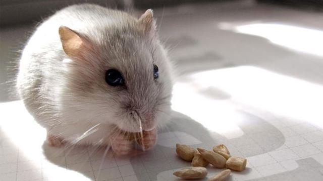 Ingin Ngakak? Tonton VIDIO Hamster Ini Segera!
