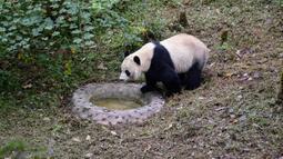 Tingkah panda raksasa bernama Bei Bei pada hari pertama berada dalam kandangnya di Bifengxia Panda Base di Yaan, Provinsi Sichuan, China, Kamis (21/11/2019). Bei Bei menaiki jet pribadi Boeing 777F saat diterbangkan dari Amerika Serikat ke China. (STR/AFP)