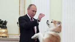 Presiden Rusia Vladimir Putin bermain dengan anjingnya yang bernama Yume di Kremlin di Moskow, Rusia (7/12). Menurut beberapa sumber Presiden Putin sudah sejak lama dikenal sebagai penyayang binatang. (Sputnik/Kremlin/Alexei Druzhinin via Reuters)