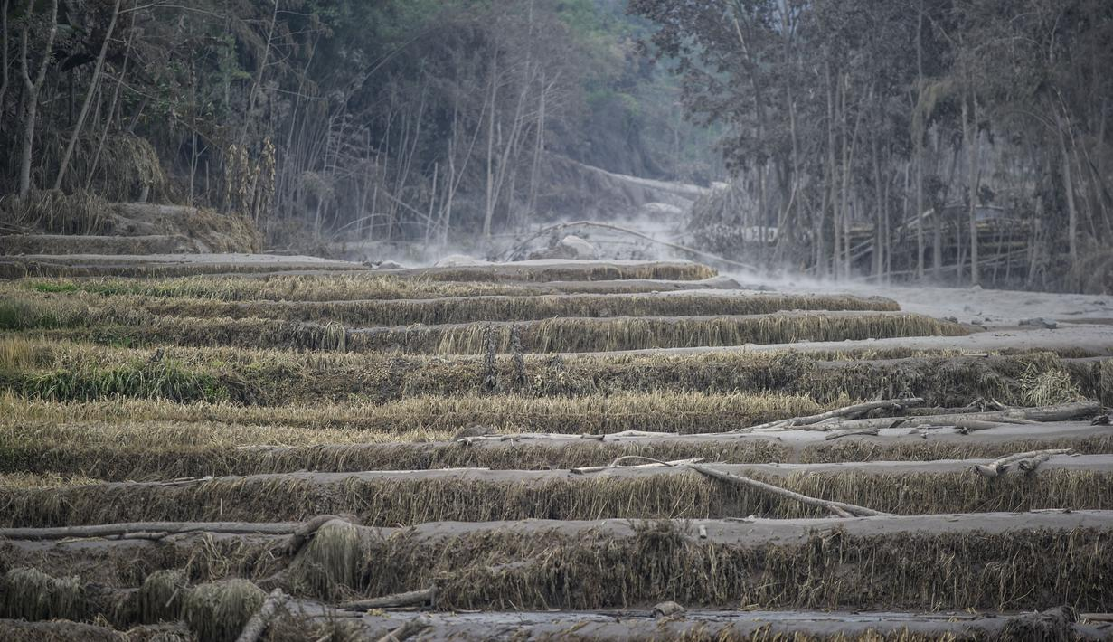 Lahan pertanian yang tertutu debu terdampak erupsi Gunung Semeru di Lumajang, Provinsi Jawa Timur (3/12/2020). Hingga Selasa siang, status Gunung Semeru masih waspada di level 2. (AFP/Juni Kriswanto)