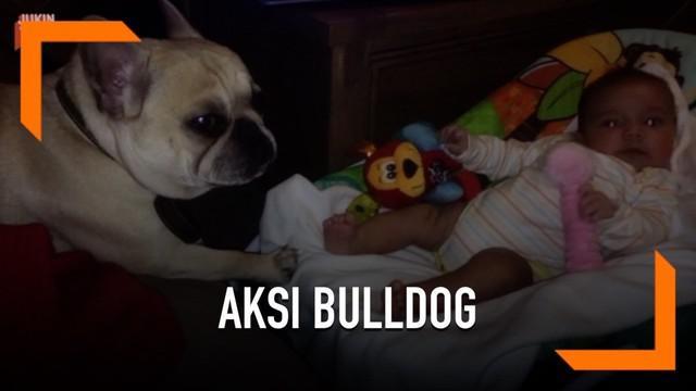 Begini aksi seekor anjing jenis bulldog ketika mencoba menidurkan seorang bayi di keranjang.