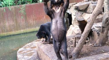 Pengelola Bonbin Bandung Bela Diri Soal Beruang Kurus