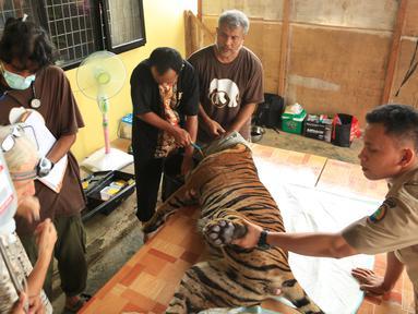 Harimau Sumatera saat akan menjalani operasi di Taman Nasional Batang Gadis, Sumut, Senin (30/11/2015). Harimau tersebut harus menjalani operasi karena kakinya terluka dan membusuk akibat terkena perangkap Rusa. (Foto: Ori Kakigunung)