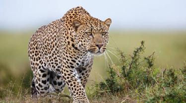 Ilustrasi macan tutul (iStock)