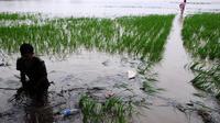 Tak hanya sawah, banjir juga merendam lebih dari 1.500 rumah warga (Bangun Santoso/Liputan6.com)