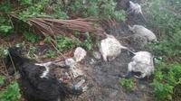 Belasan ekor domba tersambar petir Tuaneo, Desa Nembrala, kecamatan Rote Barat, Kabupaten Rote Ndao pada Minggu (29/12/2019) sekitar pukul 14.00 Wita. (Foto: Liputan6.com/Istimewa/Ola Keda)