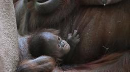 Salah satu induk orangutan Kalimantan, Theodora, menggendong bayinya yang baru lahir di kebun binatang Jardin des Plantes, Paris, Rabu (24/10). Theodora 8 hari lalu baru melahirkan seekor bayi betina yang diberi nama Java. (Eric FEFERBERG/AFP)