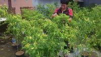 Gerakan menanam cabai di Makassar (Liputan6.com / Eka Hakim)