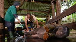 Dokter hewan dan mahot memandikan bayi gajah di Pusat Latihan Gajah, Saree, Aceh, Sabtu (23/8). Kondisi luka kaki bayi gajah akibat terkena jerat pada awal Mei 2018 lalu itu terus membaik dan tinggal menunggu proses penyembuhan. (AFP/CHAIDEER MAHYUDDIN)