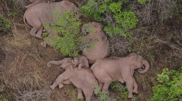 Kawanan Gajah Tidur Siang