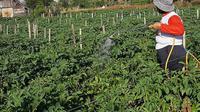Seorang petani menyemprotkan cairan pestisida pada tanaman saat unung Sinabung memuntahkan abu ke langit, seperti terlihat dari Karo, Sumatera Utara, Selasa (2/3/2021) . Saat ini, Gunung Sinabung, berada pada Level III atau Siaga. (AFP/Bahari Tarigan)