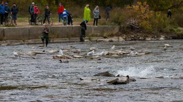 Warga menyaksikan sejumlah ikan salmon bermigrasi ke lokasi untuk bertelur di Sungai Humber di Toronto, Kanada, 18 Oktober 2020. Setiap musim gugur, ribuan ikan salmon di banyak sungai di Ontario berenang menuju ke hulu untuk bertelur, menarik perhatian warga juga para pemancing. (Xinhua/Zou Zheng)