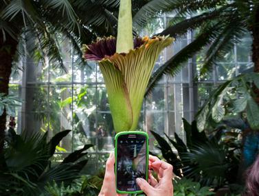20160802-Bunga Bangkai Raksasa dari Sumatera di Washington-Amerika