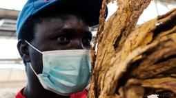 Steady Zvavamwe (38), seorang petani tembakau memeriksa beberapa daun emas selama pembukaan resmi musim penjualan tembakau di Lantai Penjualan Tembakau, Harare, Zimbabwe, 7 April 2021. Musim penjualan tembakau tahun ini dihadiri sedikit petani karena pembatasan COVID-19. (Jekesai NJIKIZANA/AFP)