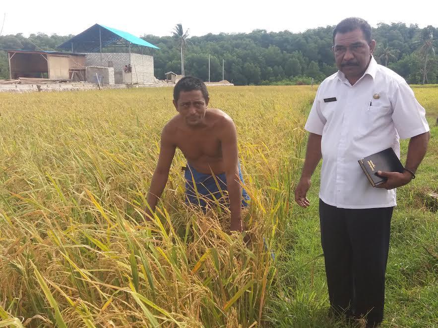 Serangan belalang merusak sawah-sawah petani di Waingapu, Sumba, NTT (Liputan6.com / Ola Keda)