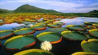 Salah satu spesies teratai yang sangat besar adalah teratai yang dikenal dengan nama Giant Water Lily