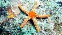 Ilustrasi bintang laut (Wikimedia Commons)