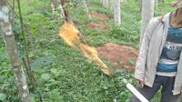 Pipa dari sumur gas di Bantar Kecamatan Wanayasa, Banjarnegara menyemburkan api lantara mengandung gas alam berlimpah. (Foto: Liputan6.com/Muhamad Ridlo)