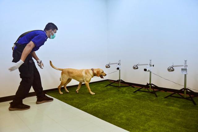 Anjing labrador retriever diberi hadiah saat tes mengendus Covid-19 dari sampel keringat di Universitas Chulalongkorn di Bangkok pada 21 Mei 2021. Ratusan sampel keringat penderita Covid-19 dikumpulkan mulai dari yang tidak bergejala sampai yang harus dirawat di rumah sakit (Lillian SUWANRUMPHA/AFP)