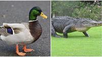 Aksi bebek usir aligator di lapangan golf. (Sumber: Animal Planet)