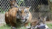 Seekor Harimau Sumatera, Sean bersama bersama dua dari tiga anaknya berada di dalam kandang di Bali Zoo, Gianyar, Sabtu (28/7). Tiga bayi kembar Harimau Sumatera ini merupakan kelahiran pertama Harimau Sumatera di Bali Zoo. (AP/Firdia Lisnawati)