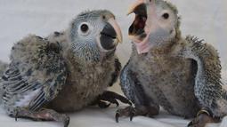 Dua anak ayam jenis Macaw Spix bernama Karla (kanan) dan Tiago menjadi koleksi langka konservasi satwa liar di ACTP Schoeneiche, Jerman bagian timur, Rabu (14/05/2014) (AFP photo/Patrick Pleul)